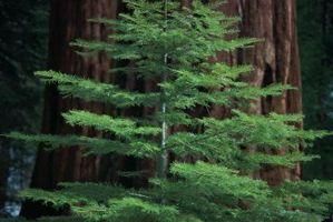 Slik fjerner Redwood Tre flekker fra Auto Paint